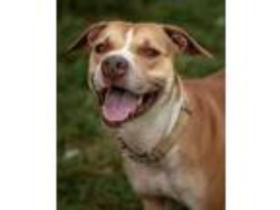 Adopt Finea a Tan/Yellow/Fawn American Pit Bull Terrier / Hound (Unknown Type) /