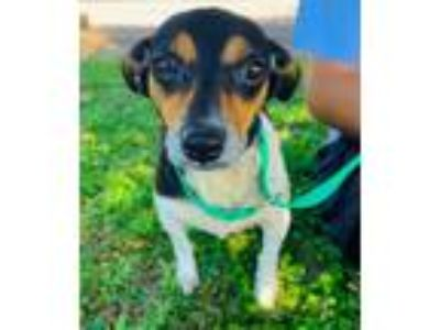 Adopt Gracie Rn a Terrier (Unknown Type, Small) / Mixed dog in Lake Jackson