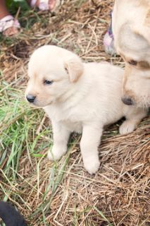 Labrador Retriever PUPPY FOR SALE ADN-74466 - Beautiful AKC Yellow Lab puppies