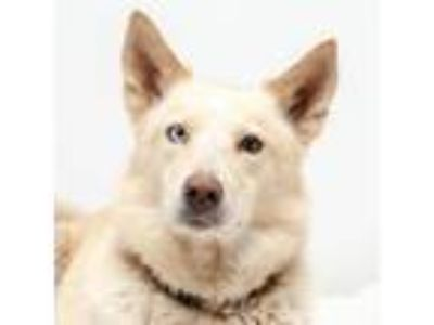 Adopt Judy a Husky, Cattle Dog