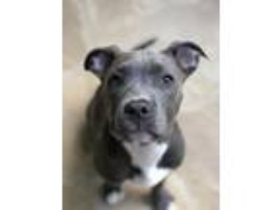 Adopt Lettie a Pit Bull Terrier, American Staffordshire Terrier