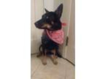 Adopt Aussie a Black - with Tan, Yellow or Fawn Australian Kelpie / Mixed dog in