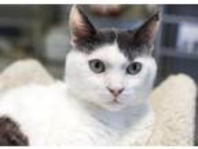 Adopt Arrow a Domestic Short Hair