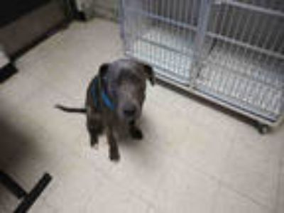 Adopt HOBBS a Gray/Silver/Salt & Pepper - with White American Pit Bull Terrier /