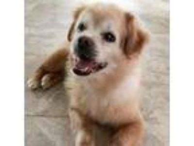 Adopt Rusty a Brown/Chocolate Pomeranian / Mixed dog in Menands, NY (24791207)