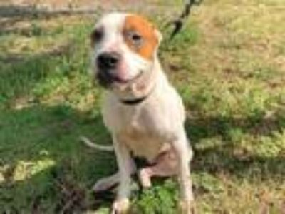 Adopt CHICKADEE a American Staffordshire Terrier