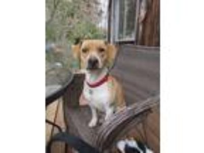 Adopt NELLIE ANNE a Tan/Yellow/Fawn - with White Beagle / Mixed dog in