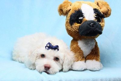 Maltipoo Puppies for Sale by Breeder in Las Vegas, Financing Available!