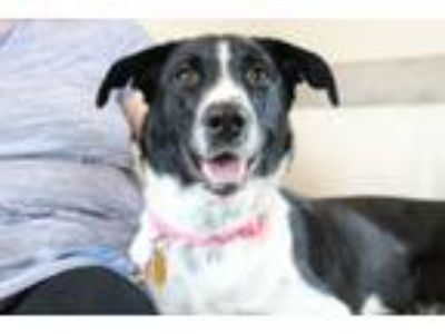 Adopt Maeby a Border Collie, Shepherd