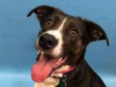Adopt Bella a Border Collie, Irish Setter