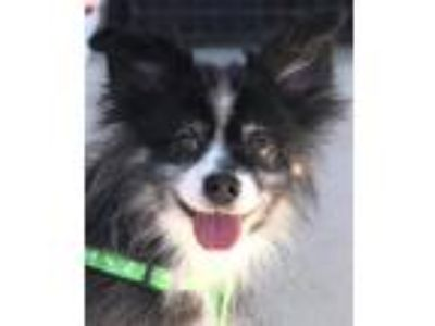 Adopt Sheela a Black - with Gray or Silver Australian Cattle Dog / Mixed dog in