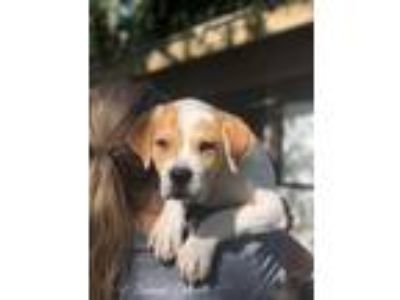 Adopt Beethoven a Golden Retriever / Boxer / Mixed dog in FREEPORT