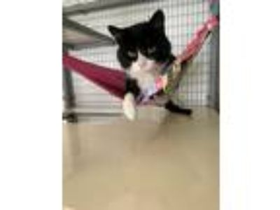 Adopt Boots a Domestic Shorthair / Mixed (short coat) cat in Lunenburg