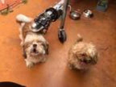 Adopt Johnny and Rosie a Black - with White Shih Tzu / Mixed dog in Pinecrest