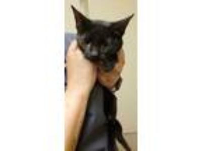 Adopt Sarah Grace* a All Black Domestic Shorthair / Domestic Shorthair / Mixed