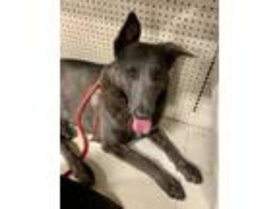 Adopt Damon a German Shepherd Dog, Belgian Shepherd / Malinois