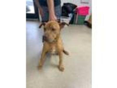 Adopt Chata a Tan/Yellow/Fawn American Pit Bull Terrier / Mixed dog in Fort