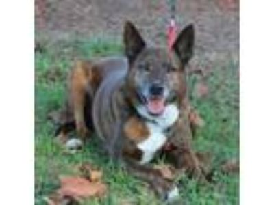 Adopt Roger a Australian Cattle Dog / Blue Heeler