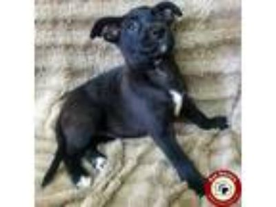 Adopt Colt - Fee $175 a Black - with White Labrador Retriever / Border Collie /