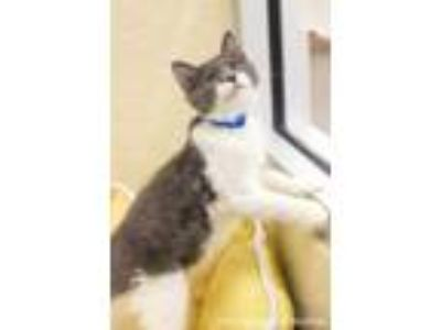 Adopt Nelson a Gray or Blue (Mostly) Domestic Mediumhair (medium coat) cat in