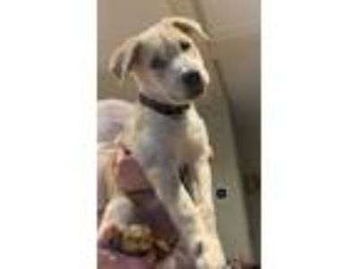 Adopt Gunner House Tyler a Catahoula Leopard Dog, Labrador Retriever