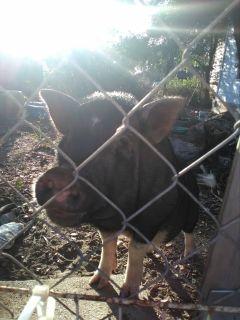 Potbelly Pig needs Home!
