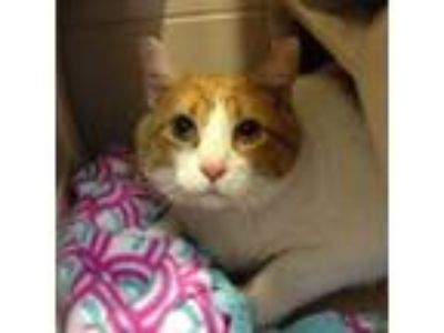 Adopt Heisenberg a Domestic Short Hair