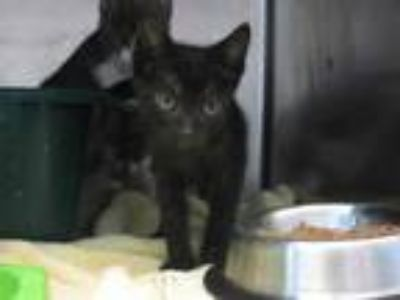 Adopt a All Black Manx / Mixed (short coat) cat in Pearland, TX (25585033)