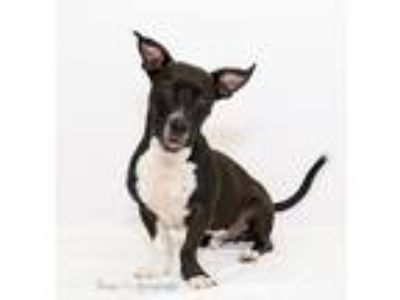 Adopt Turbo a Black - with White Labrador Retriever / Basset Hound / Mixed dog