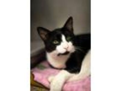 Adopt Giacomo a All Black Domestic Shorthair / Domestic Shorthair / Mixed cat in