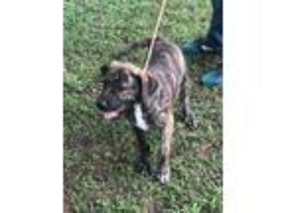 Adopt Camo a Brindle Pit Bull Terrier / Mixed dog in Willingboro, NJ (25650305)
