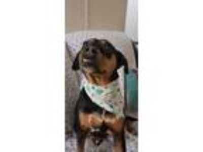 Adopt Scully a Tricolor (Tan/Brown & Black & White) Beagle / Mixed dog in