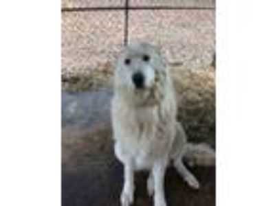 Adopt Wilma a Great Pyrenees