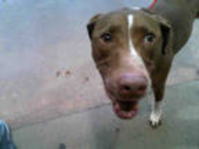 Adopt KOOTER a Brown/Chocolate - with White Labrador Retriever / Pointer / Mixed