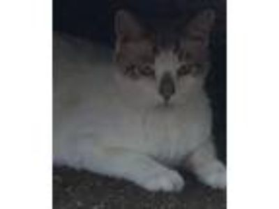 Adopt ZCL Jessie a Orange or Red (Mostly) Siamese / Mixed (medium coat) cat in