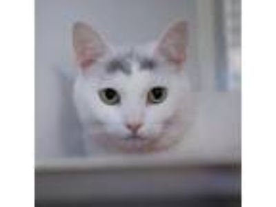 Adopt Luna a White Domestic Shorthair / Domestic Shorthair / Mixed cat in