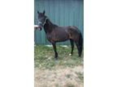 Registered TWH mare