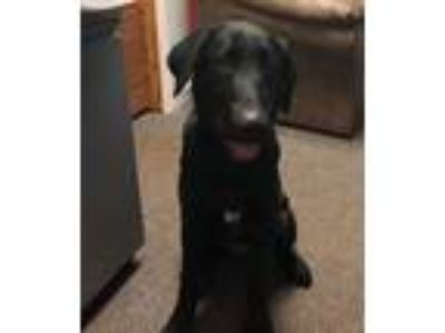 Adopt Ashton a Black Labrador Retriever / Mixed dog in Hop Bottom, PA (25599242)
