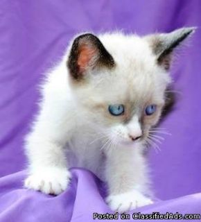Quality Healthy Male And Female Siamese Kittens Ready