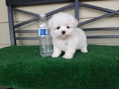 Maltese PUPPY FOR SALE ADN-99210 - Teacup Maltese Boy