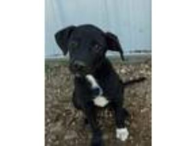 Adopt Eclipse-B a Labrador Retriever