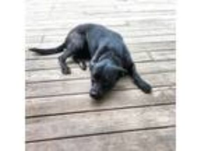 Adopt Zoey a Black Labrador Retriever / Australian Cattle Dog / Mixed dog in