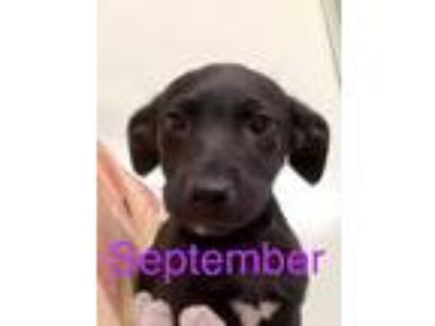 Adopt September a Labrador Retriever