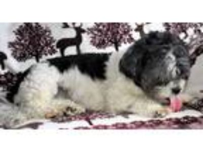Adopt Poochie a Black - with White Shih Tzu / Mixed dog in Jacksonville