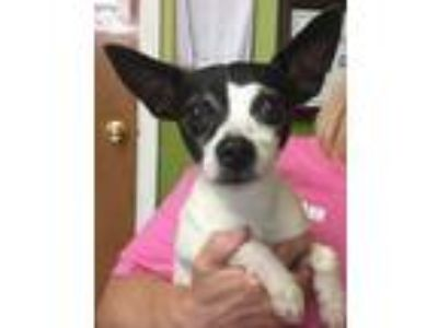 Adopt Hiratcha a White - with Black Rat Terrier / Mixed dog in Joplin