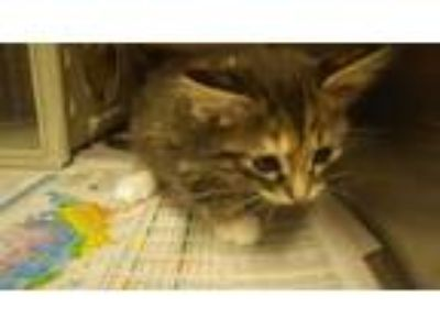 Adopt THING 3 a Brown Tabby Domestic Shorthair / Mixed (short coat) cat in Fruit