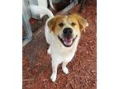 Adopt TIMBER a White - with Brown or Chocolate Labrador Retriever / Border