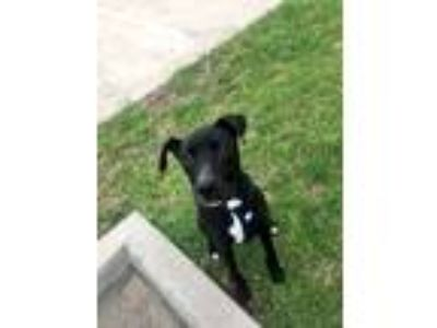 Adopt Bruce a Black - with White Great Dane / American Pit Bull Terrier / Mixed