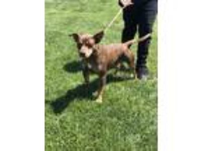 Adopt ACE a Staffordshire Bull Terrier / Shepherd (Unknown Type) / Mixed dog in