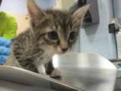 Adopt Starfish a Gray or Blue Domestic Shorthair / Domestic Shorthair / Mixed